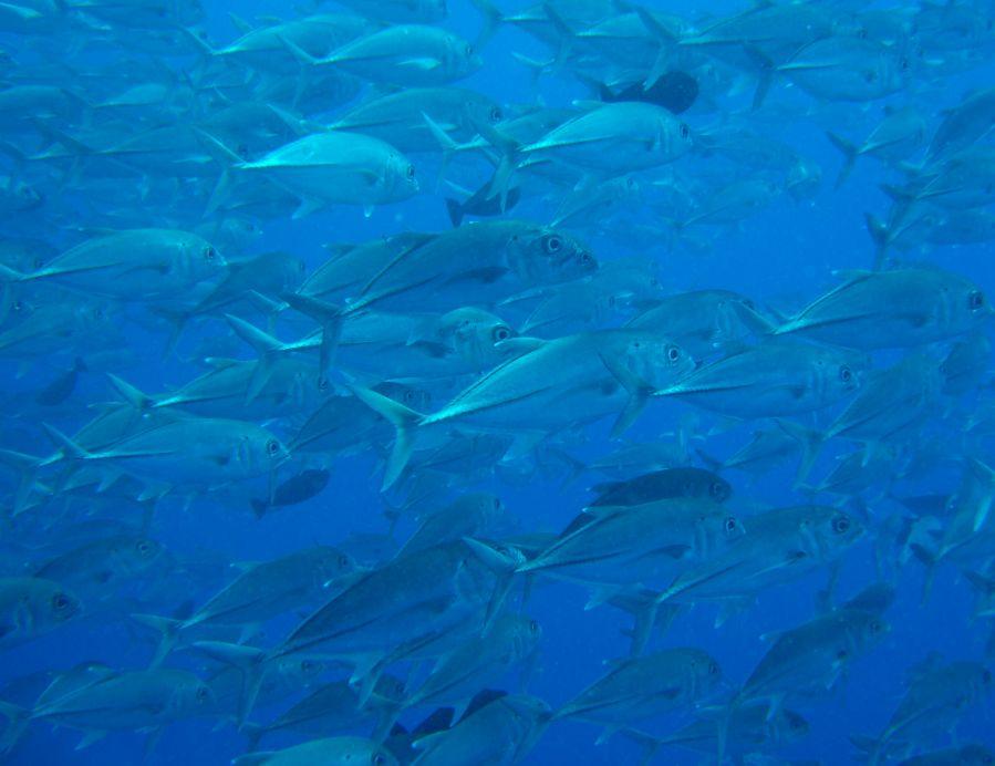 Grup halinde gezen bıçkın balıkla