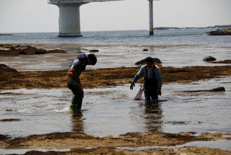Yosun ve deniz kestanesi toplayanlar. Bir Şubat günü, Çiba'da.