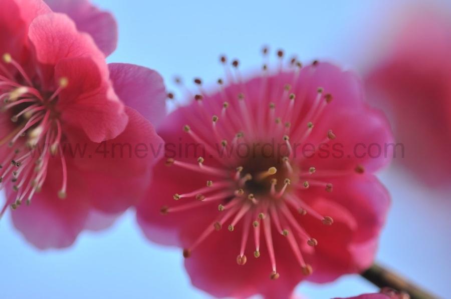 Rengarenk erik çiçeklerine bakmak dinlendiriyor