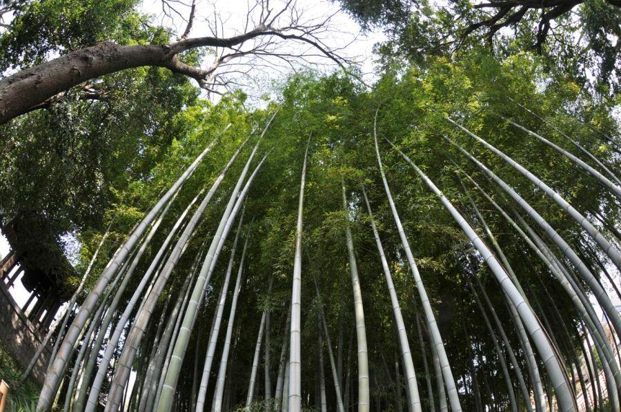 Bambu bahçesi, rüzgar altına bambu ağaçlarının hışırtısı dinlendiriyor