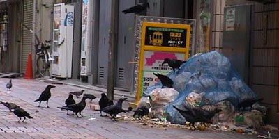 Sokaklarda çöpleri saçan kargalar (kaynak: Tokyo Belediyesi HP)